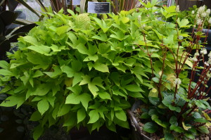 'Light Green' Sweet Potato Vine at NC Arboretum, Asheville, NC