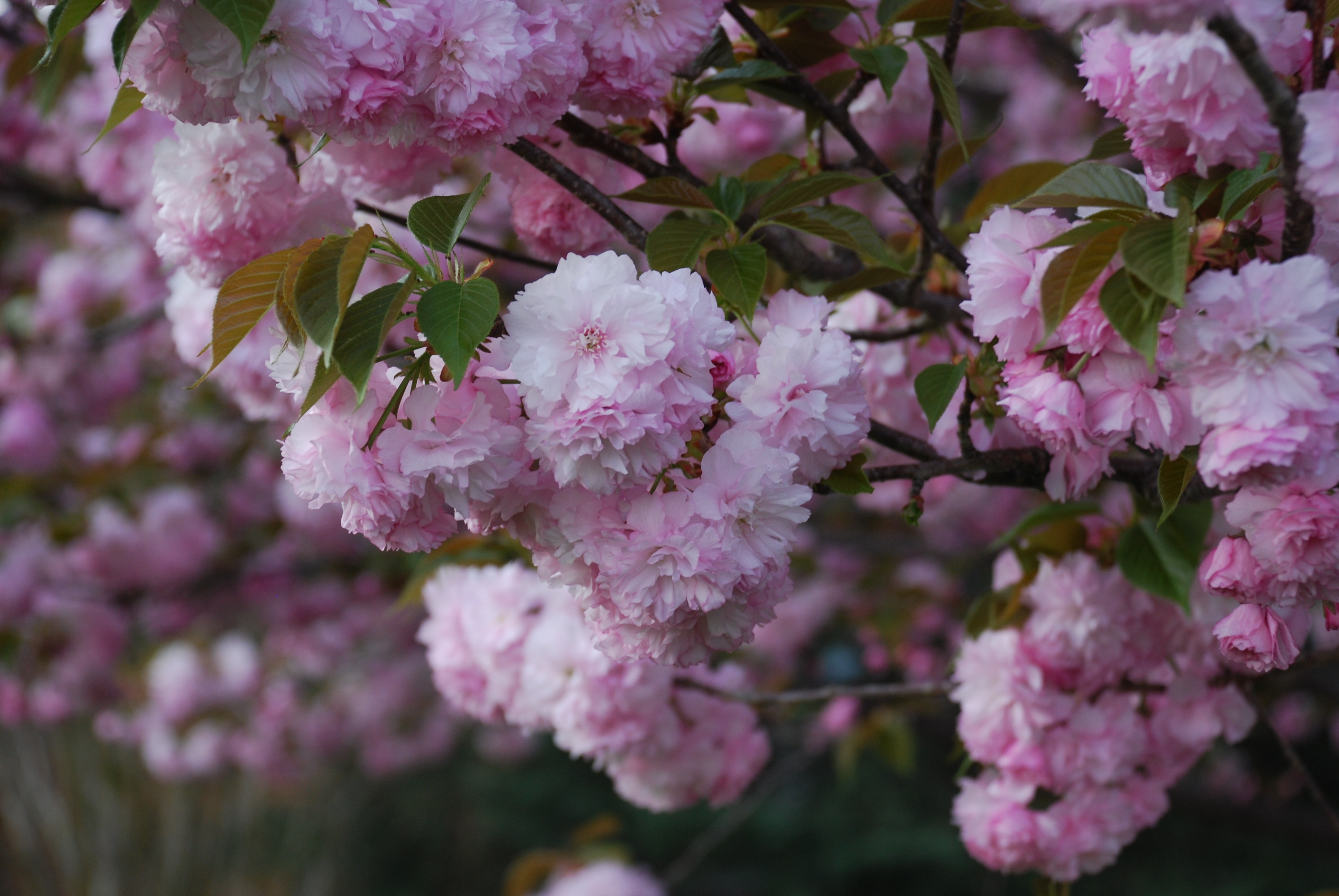 Enjoy The Double Soft Pink Flowers Of Kwanzan Cherry What Grows