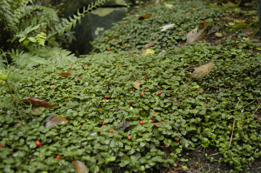 Partridgeberry Evergreen Groundcover For Deep Shady Areas