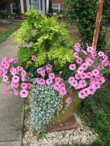 'Crippsi' False Cypress, petunia, and dichondra
