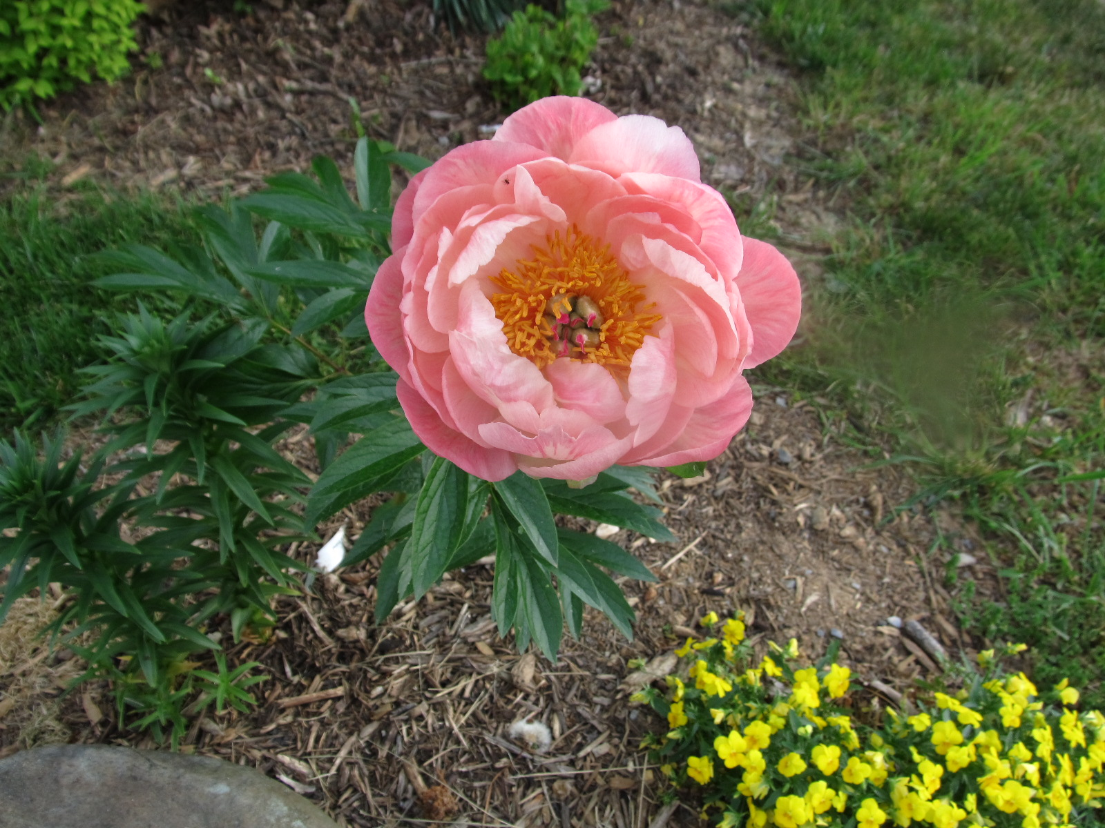 Spring Summer Care Of Herbaceous Peonies After Flowering What