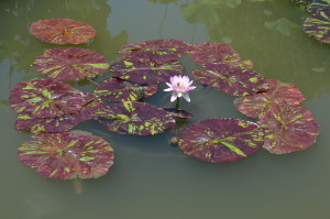 Tropical waterlily (day blooming)