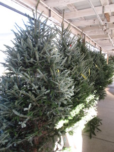 Cut christmas trees for sale