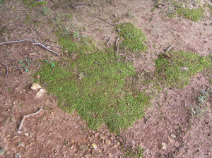 Lawn moss (photo by Dr. Tom Samples, Extension Turf Specialist, Univ. of Tennessee, Knoxville