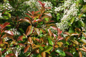 Avoid planting Red tip photinia