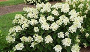 'Baby Lace' hydrangea (Photo from Gardeners' Confidence)