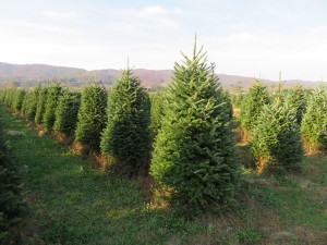 Christmas Tree Farm in SW Virginia