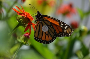 """""""Tagged"""" Mnarch Butterfly at NC Arboretum in Asheville, NC"""