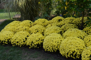 Fall mums at Longwood Gardens (photo by Jane Conlon)