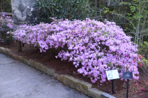 'El Freda' hybrid azalea at Bellinggraph Botanical Gardens in Mobile, AL