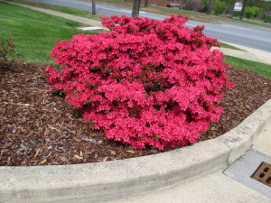 Red azalea in a Johnson City, TN garden