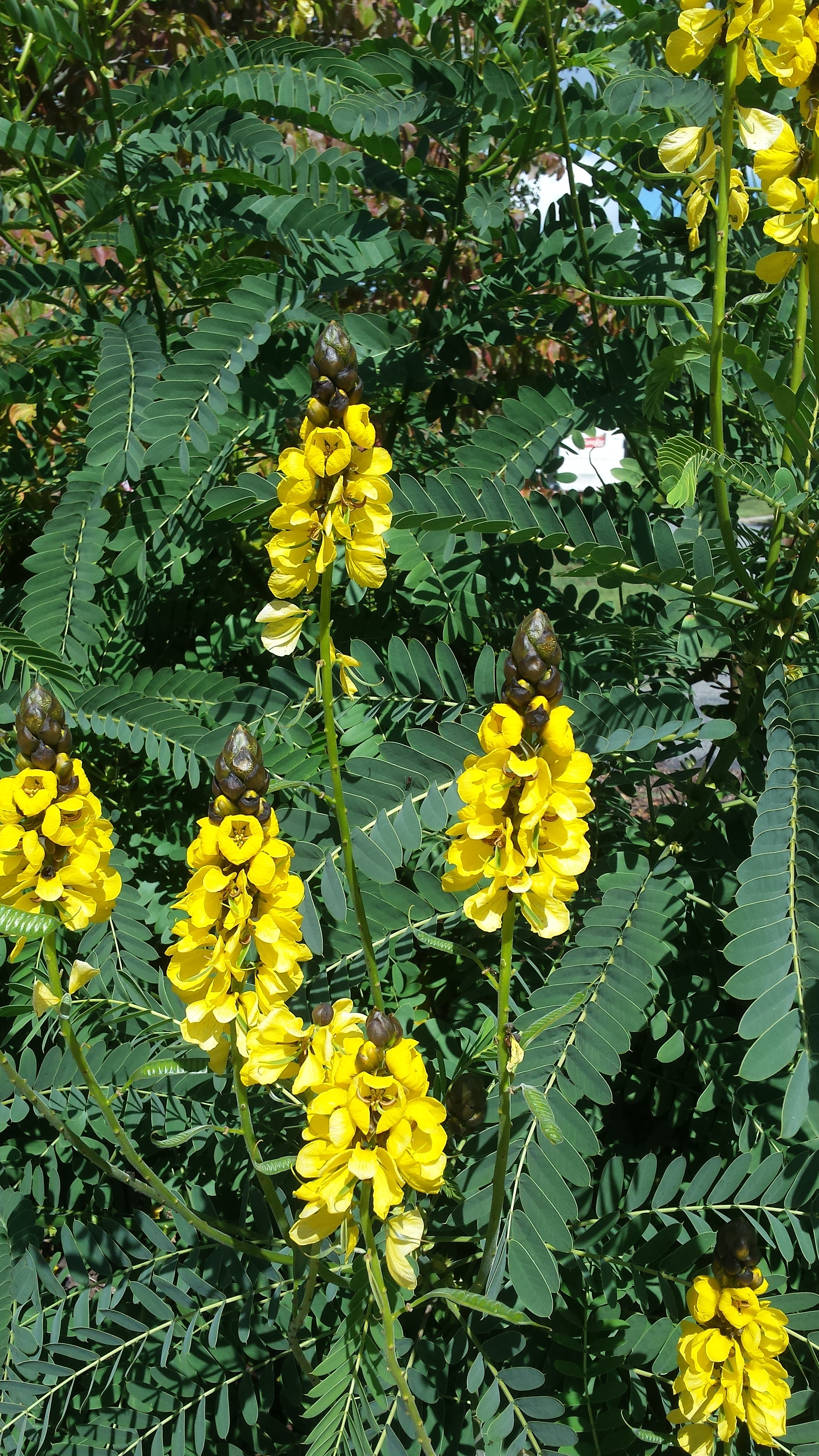 Try Popcorn Cassia For Its Lush Tropical Look What Grows