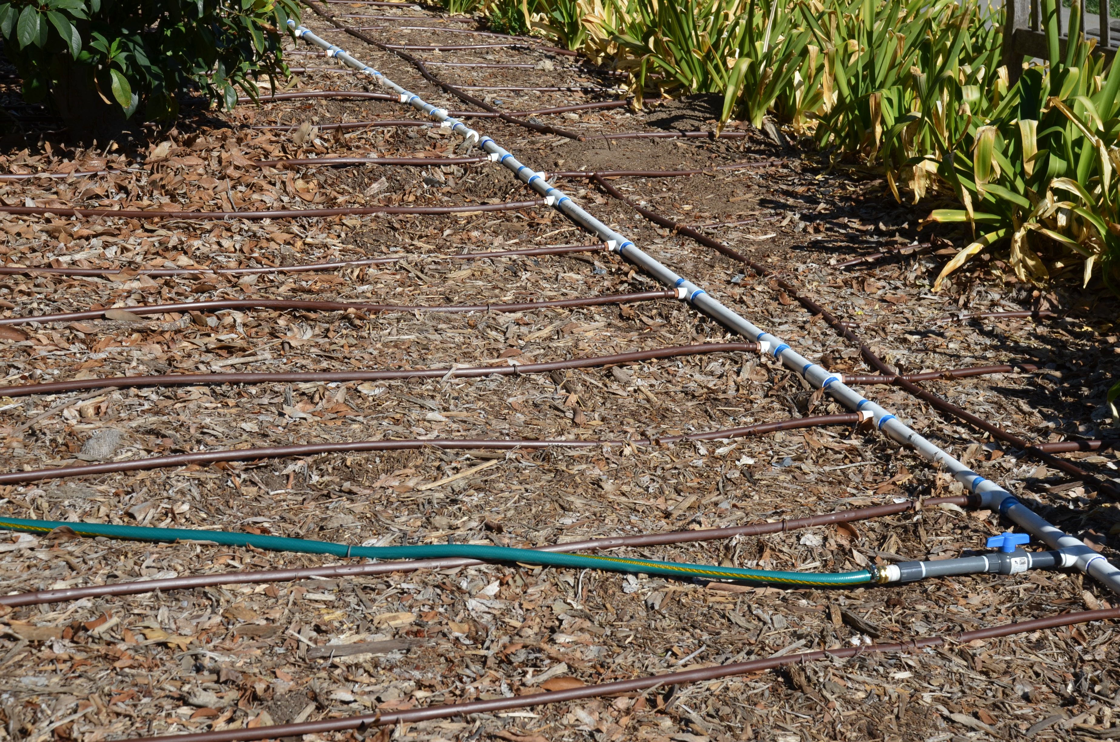 Buy blue dune lyme grass in nw arkansas - Irrigation System