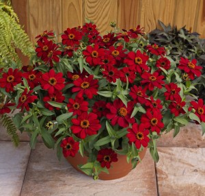 """Profusion Red' zinnia (Photo from AAS)"