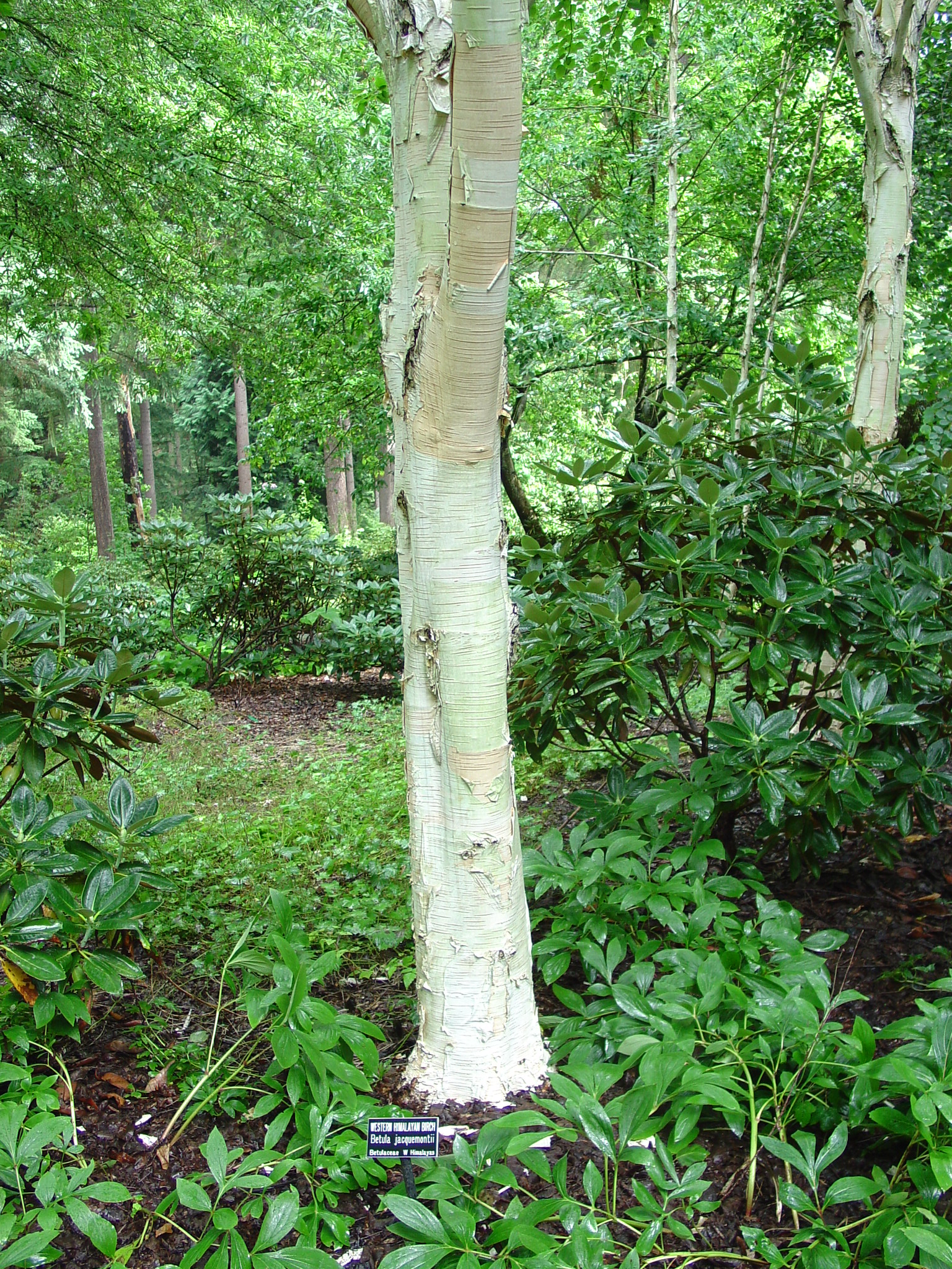 Landscaping With Paper Birch Trees : Landscape trees with winter interest what grows there