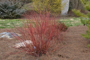'Arctic Fire dogwood at Univ. of Tennessee Gardens in Knoxville