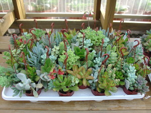 Wonderful Selection of sedums