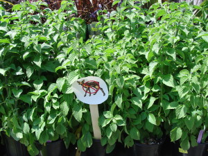 Sale of Deer resistant Plants