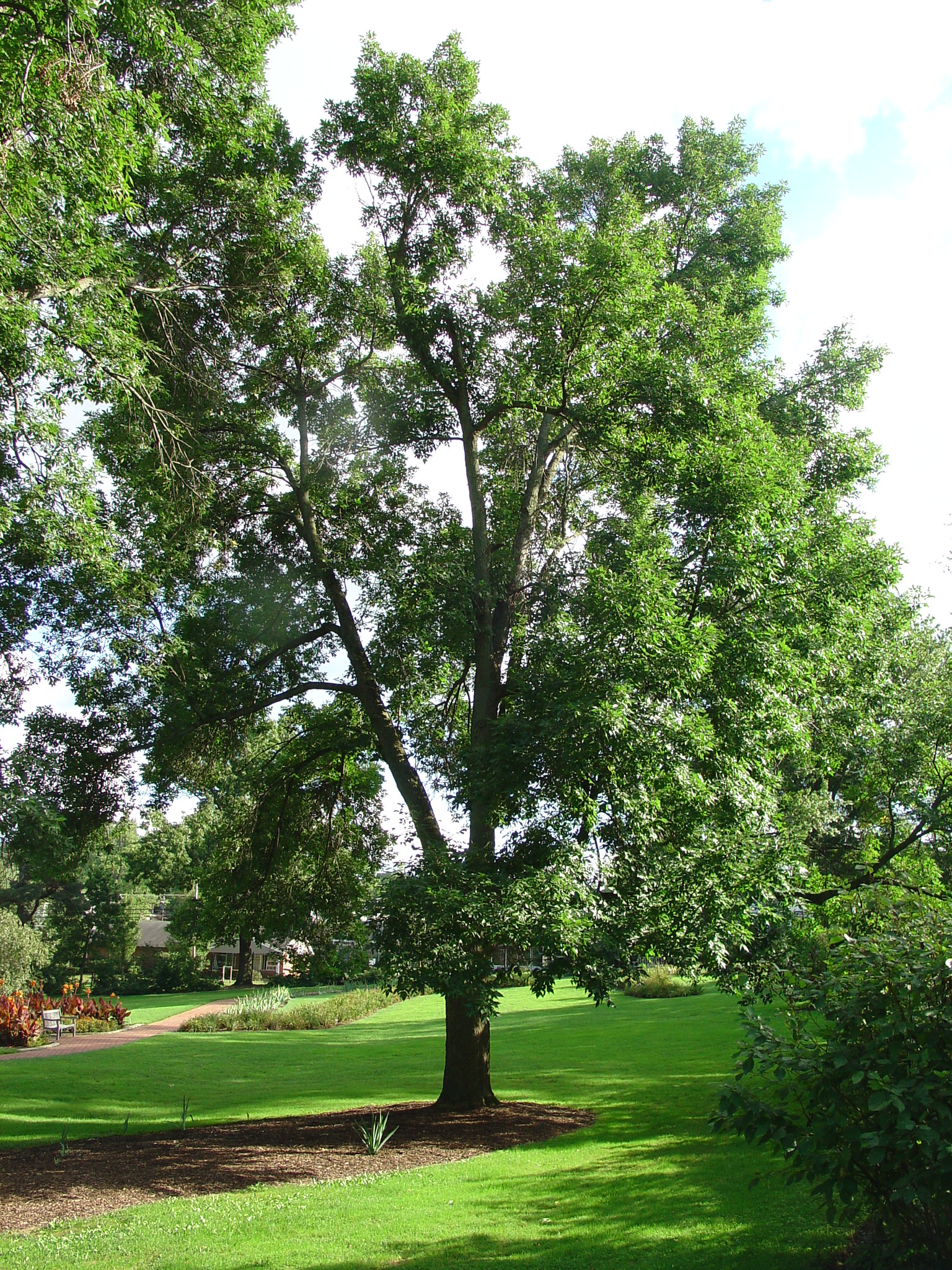Pest Alert Update On Emerald Ash Borer What Grows There