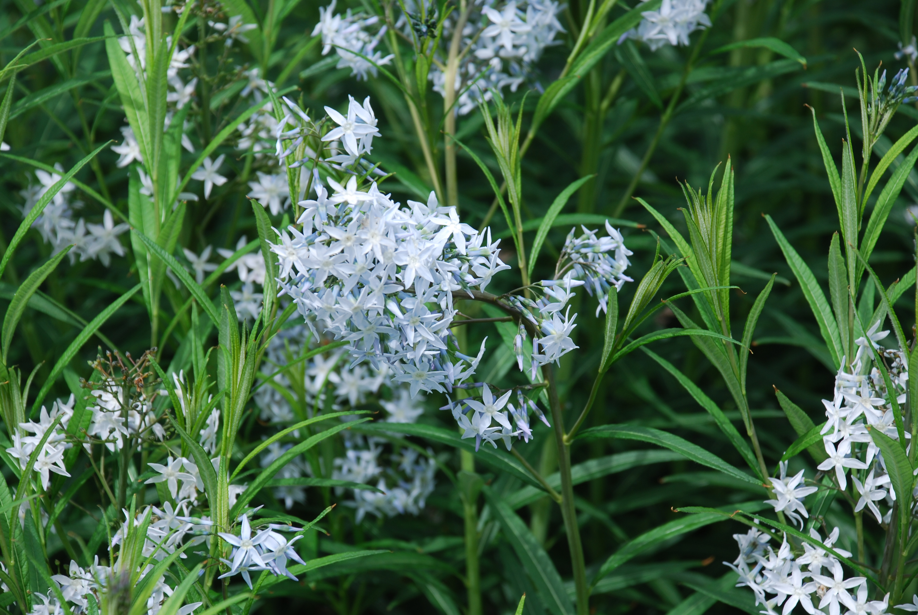 Blue Star Amsonia Is A Solid Performer What Grows There Hugh