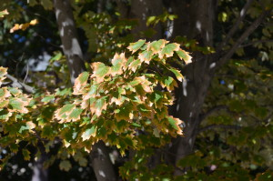 Scorched sugar maple leaves