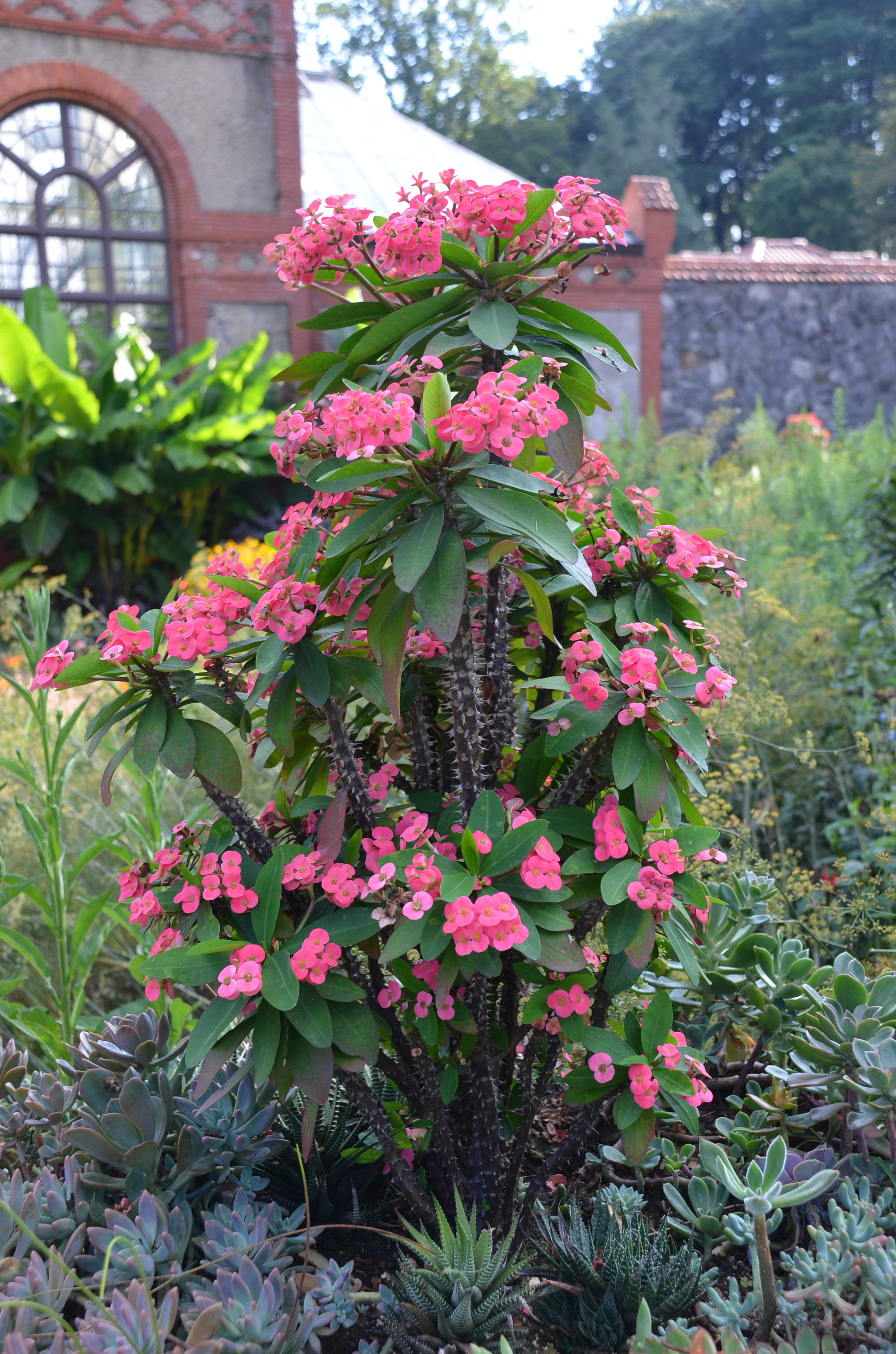 Crown Of Thorns Is A Versatile Plant What Grows There Hugh