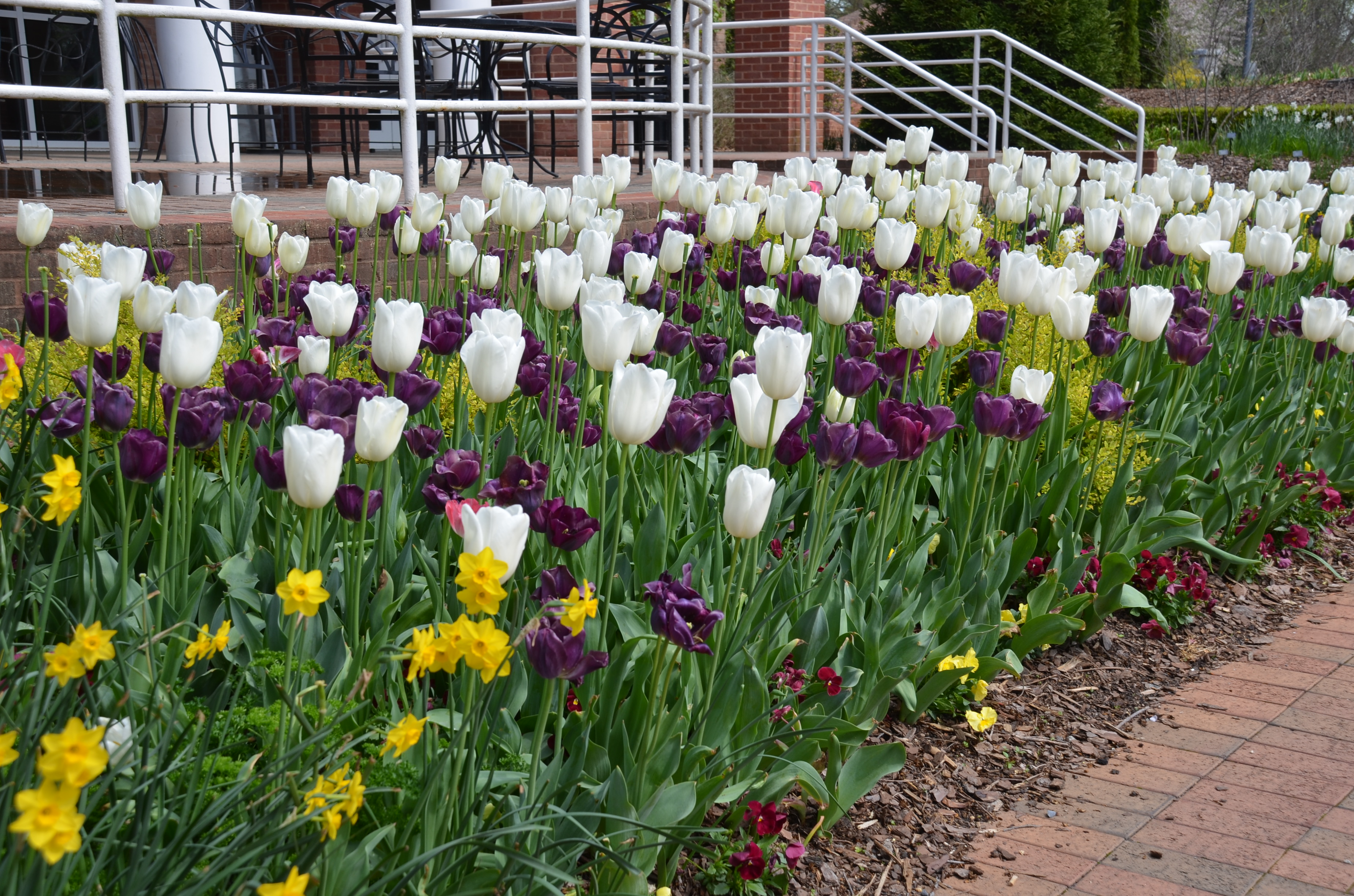 When to cut back foliage of spring flowering bulbs what grows when to cut back foliage of spring flowering bulbs izmirmasajfo