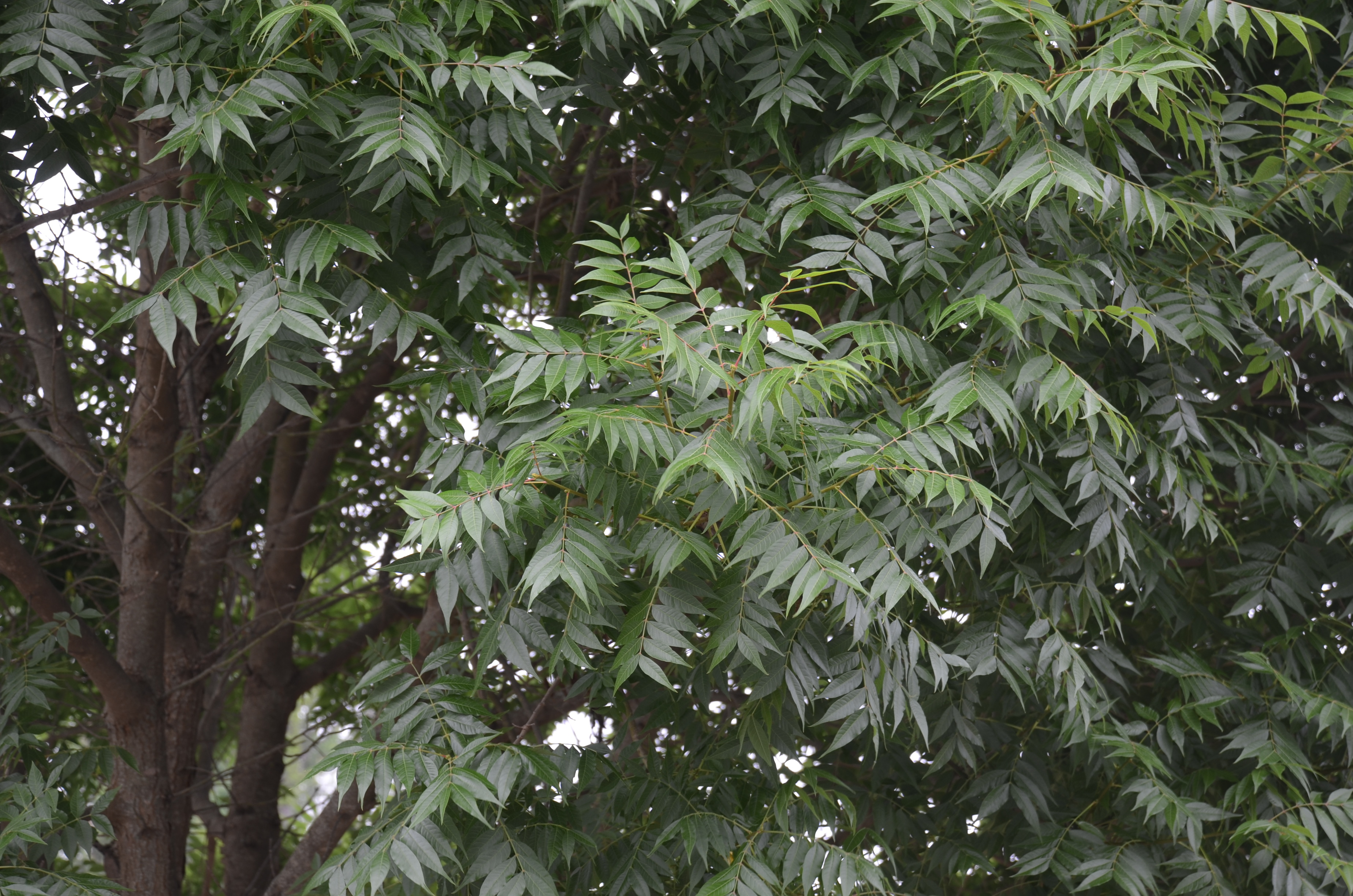 Beautiful Small Landscape Tree – Try Chinese Pistache | What Grows There  WN81
