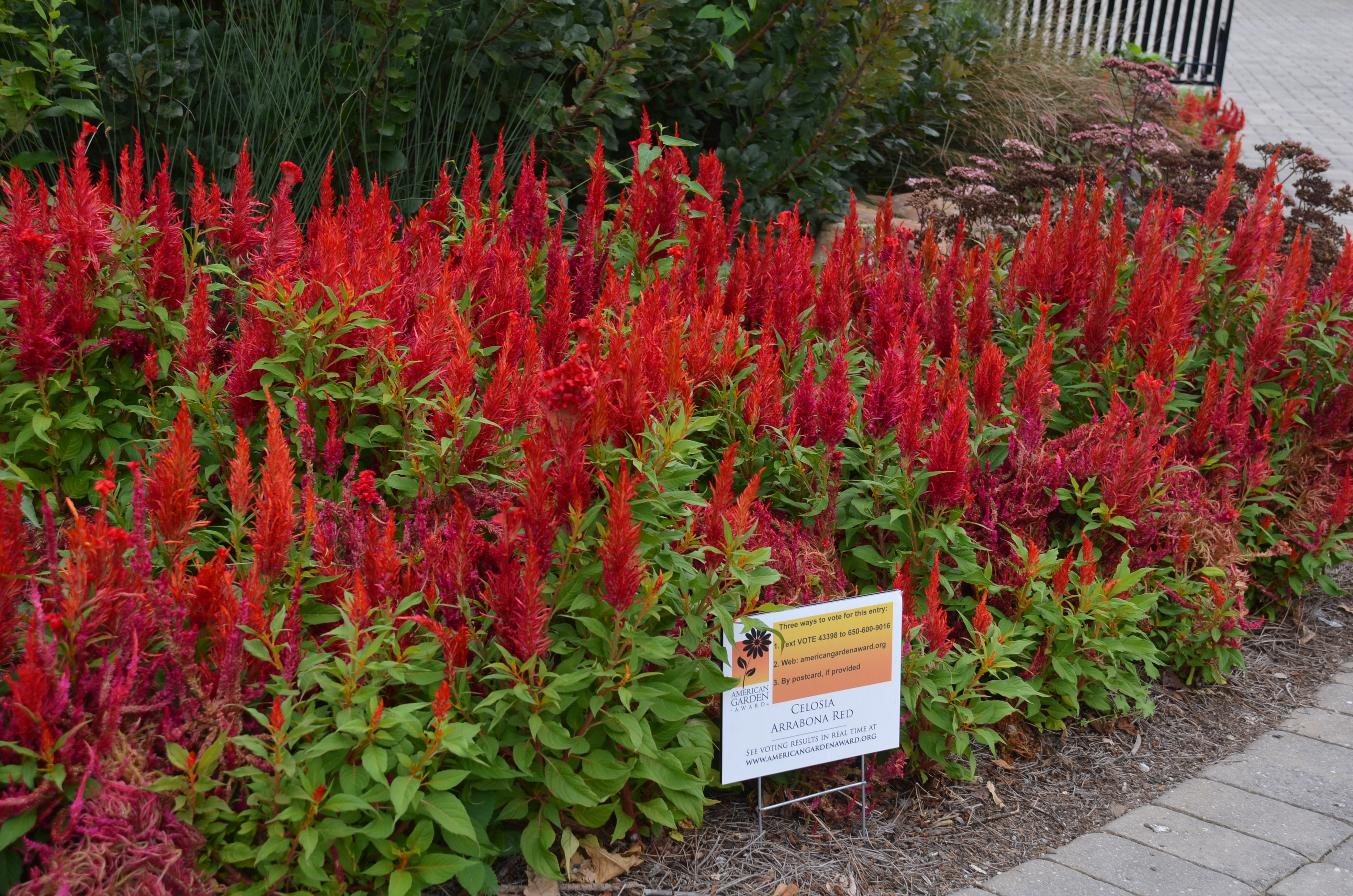 Growing Celosia In The Summer Garden What Grows There Hugh