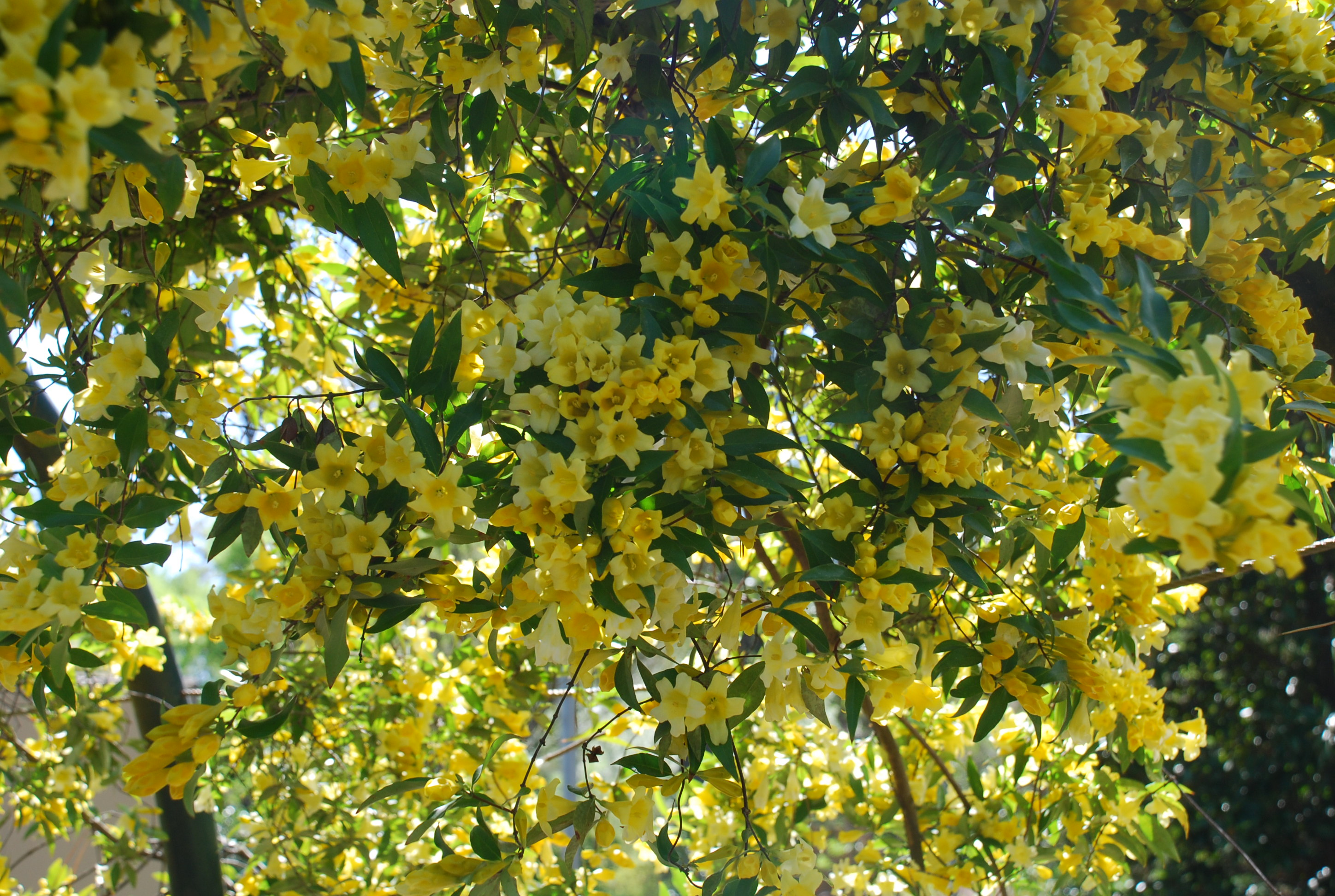 Winter blooming winter jessamine what grows there hugh conlon winter blooming winter jessamine izmirmasajfo