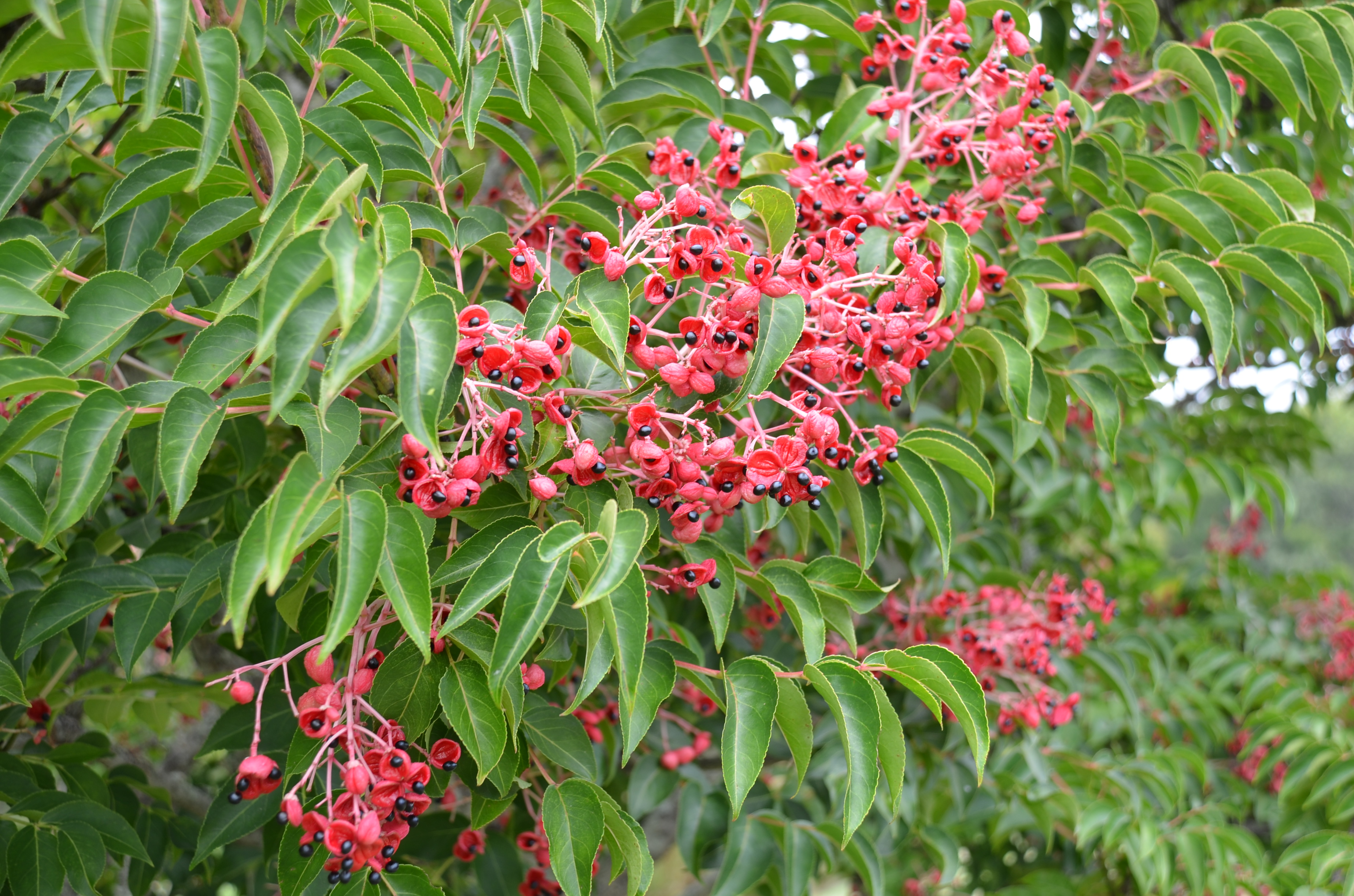 Fruit Capsules Fill The Tree In August