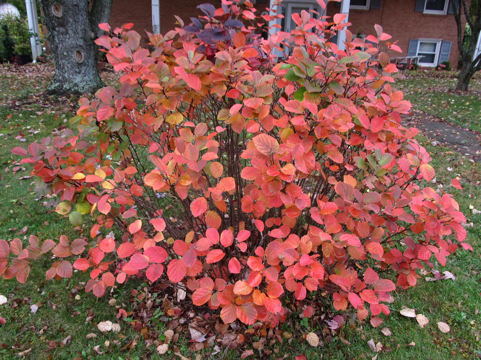 Ten Native Shrubs Possessing Great Fall Leaf Color
