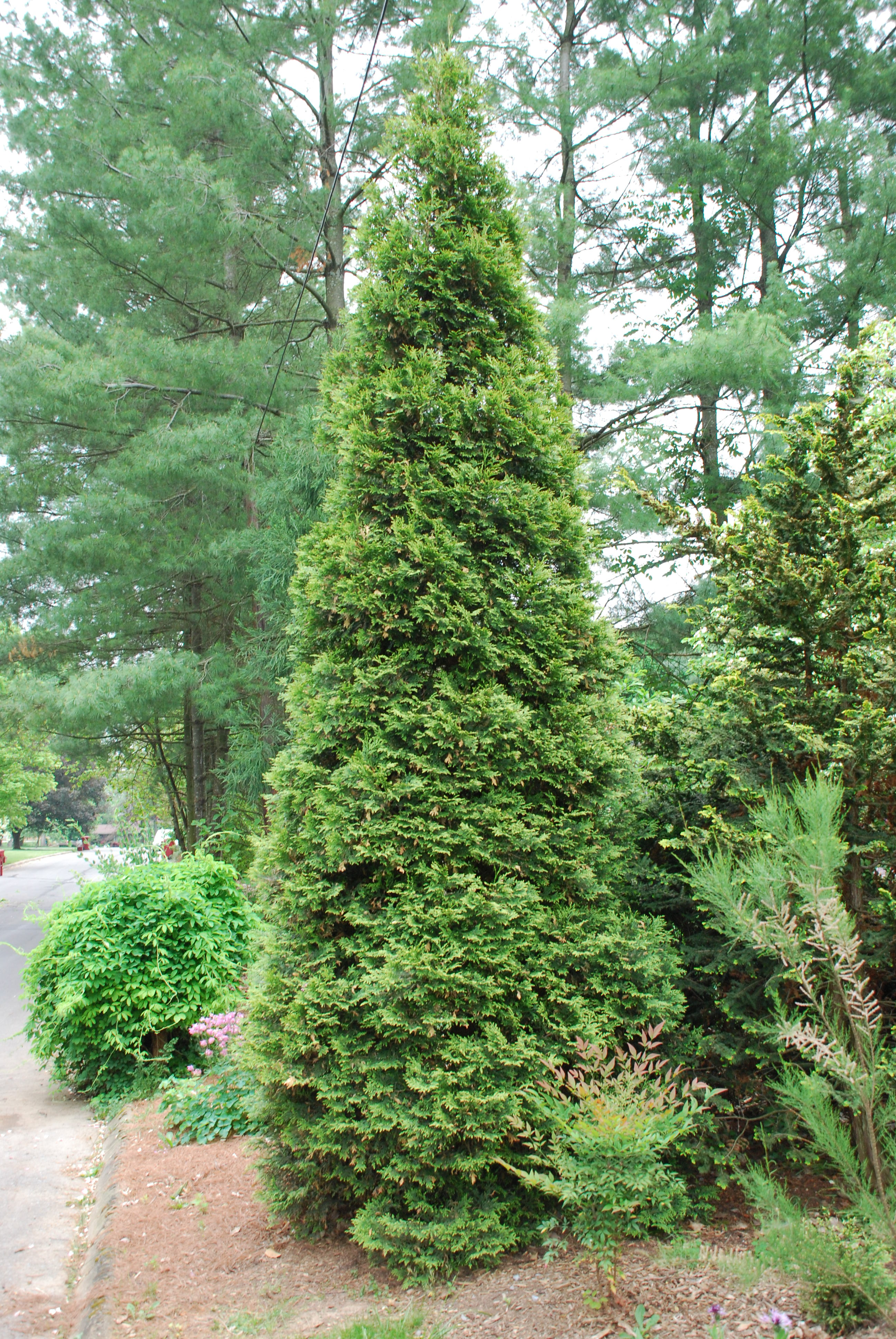Green Giant Arborvitae A Terrific Privacy Screen