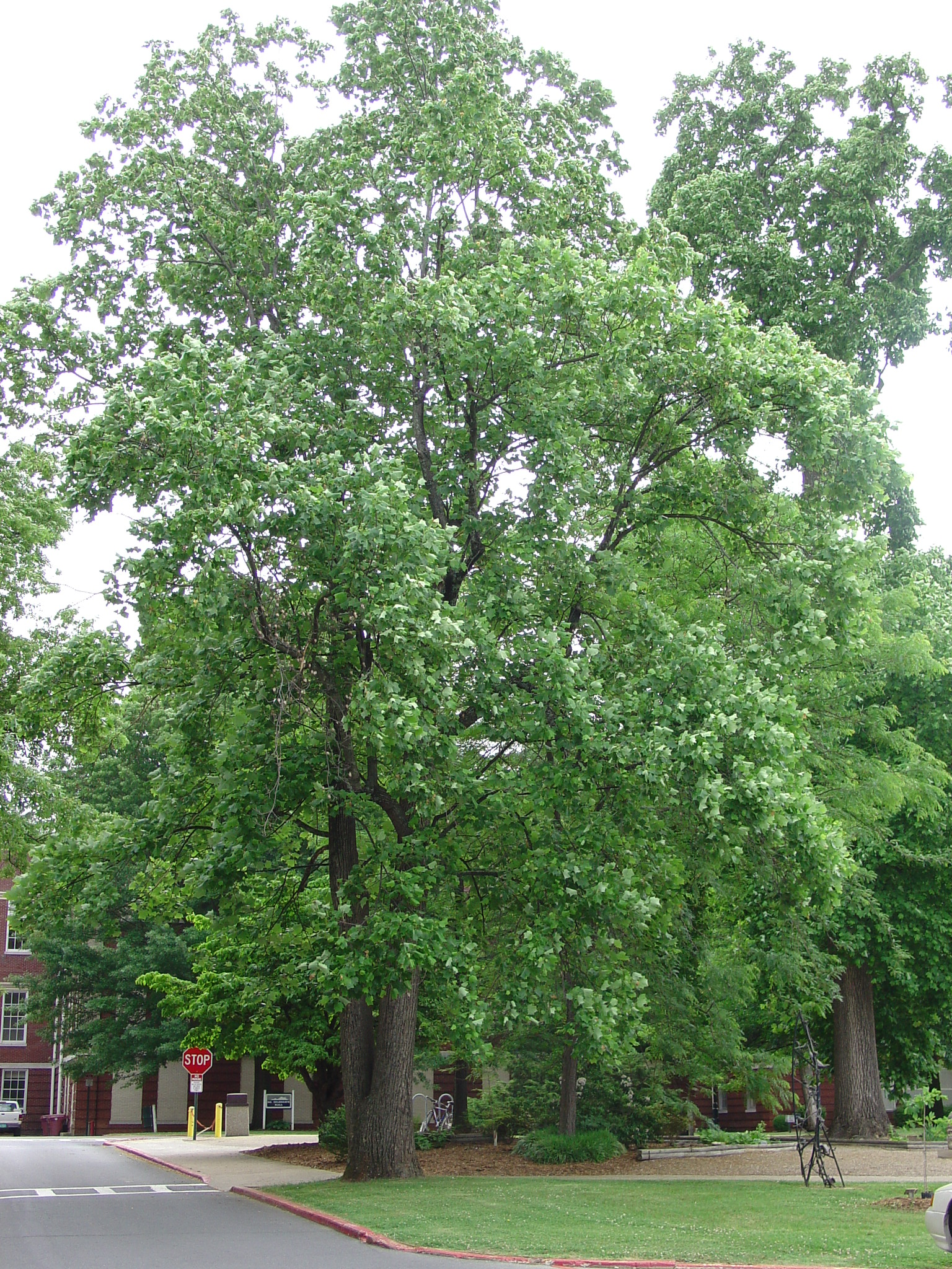Liriodendron Tulipifera On East Tn State University Campus In Johnson City